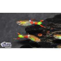 Guppy Endleri Jne Fluo Points rouges (mâle) 2-2.5