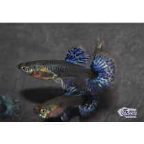 Guppy Dumbo Bleu Fem. 3-4 (sri)