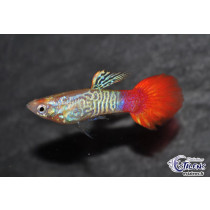Guppy Flame Sunset Cobra  3.5-4 (sri)