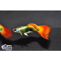 Guppy Flame Métallic  4-4.5 (sri)