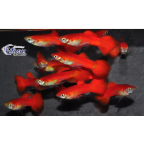 Guppy Flamingo Red 3-3.5 (sri)