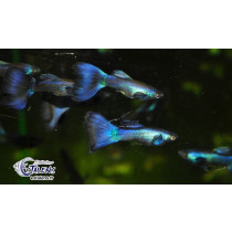 Guppy Full Bleu Neon 3.5-4 (isr)