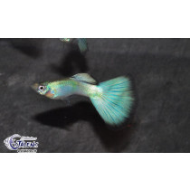 Guppy Diamant  3.5-4 (sgp)