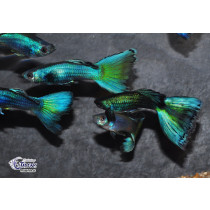 Guppy Full Green Neon  4-4.5 XL (sri)