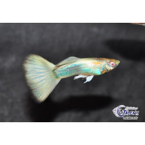 Guppy Full White Albino 3.5-4/4+ (en cp)(Estalens)