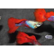 Guppy  Gold Red  3.5-4 (isr)