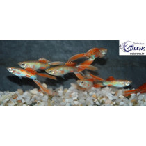 Guppy Lyre Neon Rouge  3-3.5 (sri)