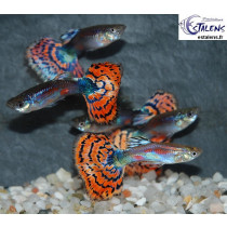 Guppy Calico Rouge  3-3.5 (sri)