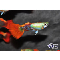 Guppy Or Tuxedo Orange  3.5-4 (sri)