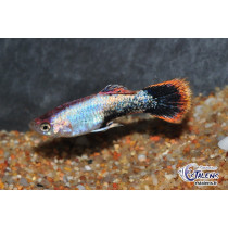 Guppy Platinium Purple 3.5-4 (isr)