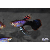Guppy Platinum Purple Ribbon 3.5-4 (sri)