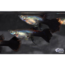 Guppy Platinum Purple Ribbon Fem. 4-5 (sri)