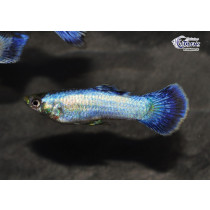Guppy Snow Blue  3-3.5 (sri)