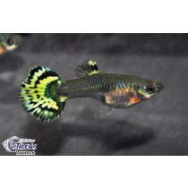Guppy Tiger Fem. 4-5 (sri)