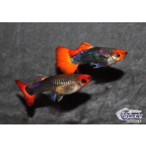 Guppy Tricolor Showa 3.5/4+ (en couple)