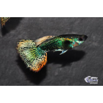 Guppy Tuxedo Mosaïc Green Red  3.5-4 (sri)