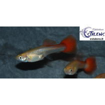 Guppy Fem. Flamingo Red 3-4 (sri)