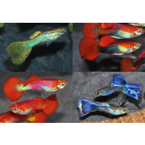 Guppy Male 3.5-4 Pack 100 (4 var. x 25)(sri)