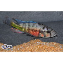 Haplochromis sp. Orange Rock Hunter  7-9 (Estalens