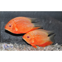 Heros Severum Orange Pts Rouges 7-9