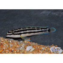 Julidochromis ornatus Blanc 3-4