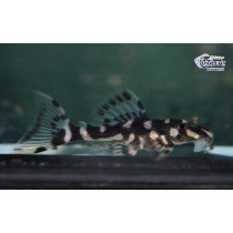 L082 Scobinancistrus sp. Opal Spot  4-5 (el) SUPER