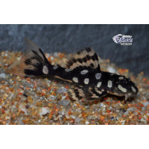 L082 Scobinancistrus sp. Opal Spot  5-6 (el) SUPER