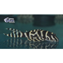 L236 Hypancistrus sp. Mega Clown Zebra 5-6 (el)
