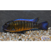 Labeotropheus trewavasae Chilumba  4-5