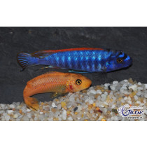 Labeotropheus trewavasae Red Top Thumbi West  4-5