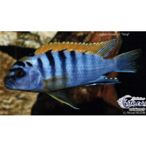 Labidochromis sp. Hongi Super Red Sweden  4-5