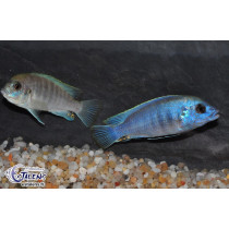 Labidochromis caeruleus Blue/White Tumbi Point 5-7