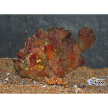 Lophiocharon lithinostomus Red Marble 11-13