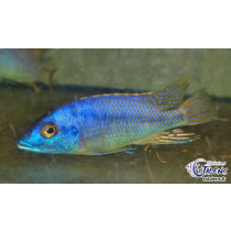 Mylochromis sp. Mchuse Undu Point  9-11 F1 (estale