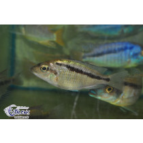 Mylochromis sp. Mchuse Undu Point  4-5 F2 (Estale