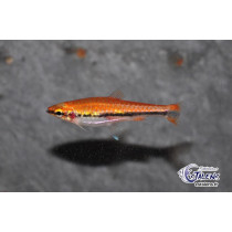 Nannostomus beckfordi Red 2-2.5
