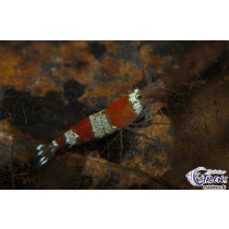 Caridina Crystal Red Mix Grades  1-1.5