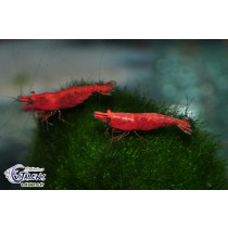 Neocaridina davidi Fire Red Painted Grade 2cm TOP