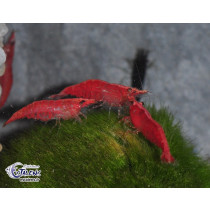 Neocaridina davidi Fire Red 1.5-2