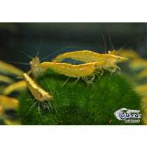 Neocaridina davidi Yellow Neon Top 1.5-2