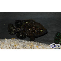 Paratilapia sp. Petits Points  9-11