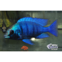 Placidochromis sp. Gisseli   5-7 (Estalens)
