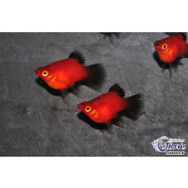 Platy Ballon Wagtail Rouge 3-3.5