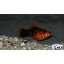 Platy Calico Rouge  4-5