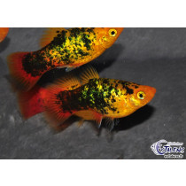 Platy Calico Sunset Métal  4-5
