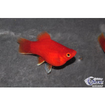 Platy Corail Rouge  3.5-4