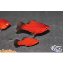 Platy Corail Wagtail Rouge  3-3.5