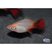 Platy Mickey Blanc Queue Rouge 3-3.5