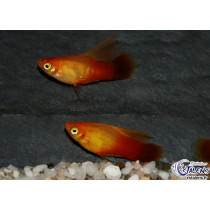 Platy Voile Sunset  3.5-4