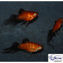 Platy Corail Star Wagtail Rouge  3-3.5
